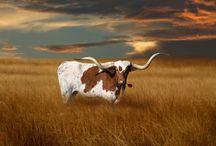 Texas Longhorn Love