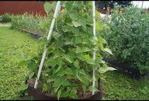 Сад Бобовые Кукуруза