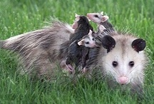 Possums, just because