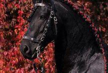 """Friesian horses / Oma unelmani friisiläisestä hevosesta toteutui kesäkuussa 2000 kun Buddy muutti meille 2-vuotiaana orivarsana. Nyt elämääni rikastuttaa 6-vuotias komea ja erittäin älykäs nuori ruuna, joka opiskelee ahkerasti ratsukoulussa tullakseen ihan oikeaksi kouluhevoseksi. Friisiläiset ovat yhä silmissäni jotain """"enemmän """" kuin """"vain hevosia""""..."""