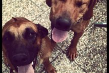 Ridgebacks / Rhodesian ridgebacks - my darlings