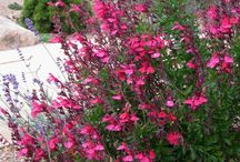 Perennials / Indian feather