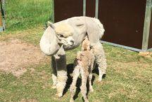 Alpakas / Alpakas, Alpacas, Kameliden, süße Haustiere, Tierfrisuren, Wolle, Tierhaltung