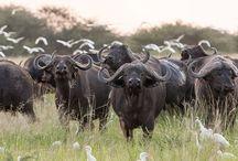 Cape buffalo, Kaapse buffel / Imposante dieren, zeker in zo'n kudde.