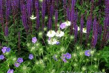 Salvia Combinations / Plant partnerships that include culinary sage, meadow sage, silver sage, or other biennial or perennial salvias