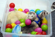 Jacey's Ferret Obsession!!! / by Jessica Bills