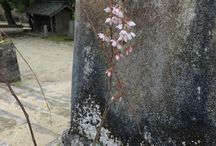 japanese temple / spring