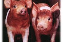 4-H: Swine / In the 4‐H swine project, you can select from a breeding animal or a market animal. Breeding animals allow you to start your own herd while market animals produce meat products for people.