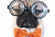 Mr.pug