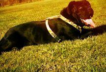 Butler cane corso / Cane corso