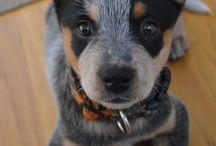 Cattledog