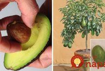 pestovani avokada