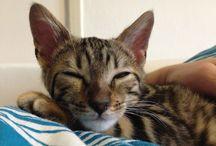 Bengalcat / cat, bengalcat,