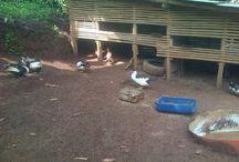 farmed duck