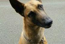 Hund/Belgian Malinoi