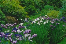 Irises  / by Anita Crisp