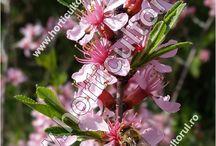Prunus Tenella Migdal Pitic