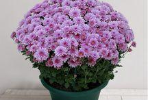 Toussaint - Fleurs et Plantes / Une sélection de fleurs et de plantes pour la Toussaint
