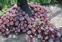 succulenta