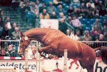 Gelderse paarden - Ladyhoeve - horses - KWPN / Gelderse paarden uit de fokkerij van de Ladyhoeve in Beuningen Gld.