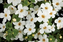 BACOPA / Varieties and Colours