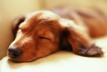 <> my favorite doxie dogs <>