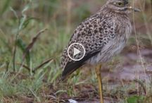 Birding Videos / Birding Videos by Birdwatcher