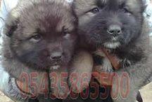 Satılık Kafkas Çoban Köpeği / Satılık Kafkas Çoban Köpeği Yavruları fiyatları  http://www.satilikyavruilani.com http://kafkas-coban.yavruilani.com/