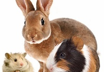 Small Pets / All about small pets: gerbils, rats, hamsters, rabbits, ferrets and birds.