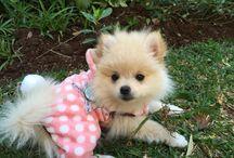 My Pomeranians