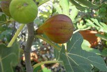 Fruit®