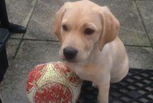 Golden labrador puppy / Puppies