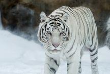 Λευκες Τίγρεις