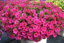 Цветы выращивание