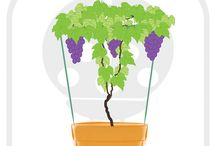 How to grow a grapevine? / I want to grow a grape vine over my pergola