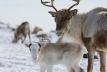 Reindeers and other horned animals / Reindeer seem to like people of all ages, perhaps because it is connected with the holiday season. No matter why, the reindeer is one of my favorite animals!