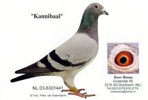 Kees Bosua galambok