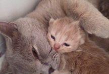Бритиши / британские котята