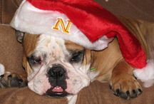 Sophie The MilitaryOneClick Mascot Bulldog / We LOVE 4 legged friends at MilitaryOneClick and we really love bulldogs!