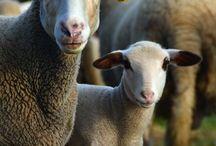 Brebis agneau beauceron / gite le pigeonnier de paumange