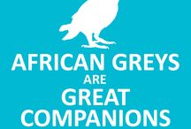 African Greys / African Grey parrots. Beautiful, highly intelligent birds that make great companions!