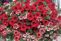 flori de terasă