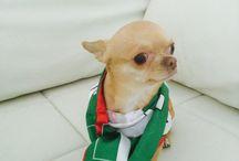 Chihuahua & Company