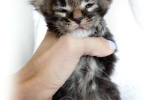 Maine Coon gallery / Maine Coon cats