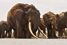 [LIFE] Elephant