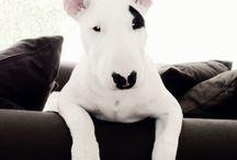 Bull terrier doggies ♡