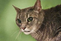 Adoptable Cats / This board is for posting adoptable cats and kittens.