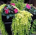 Container gardening / Plants grown in pots, containers, or any form of units that can be filled with matters to enhance growth. Eg. Wooden, stone, brick,plastic or concrete beds.