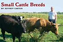 Dexter Cattle  / Irish Dexter Cattle are a small breed of dual purpose. Gentle small animals. Great beef to eat and good milkers too.