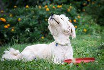 teaching dog to walk on lead